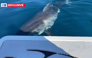Great white shark takes a bite out of NSW fisherman's boat