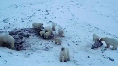 "Dozens of polar bears have ""invaded"" a village in Russia's far north in search for food, prompting ""bear patrols"" around the village and halting public activities"