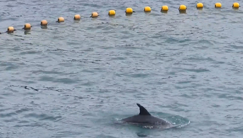 The young calf was herded into a sea pen so fishermen could catch it.