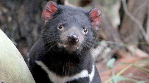 Tasmanian devil Jasper. (Supplied)