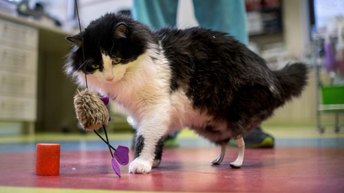 Amputee cats given second chance with bionic paws