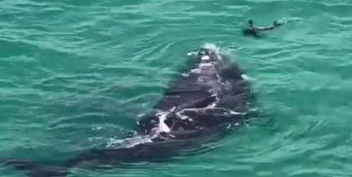 A whale and seal put on a spectacular show for whale-watchers in Victor Harbour. Image: Supplied