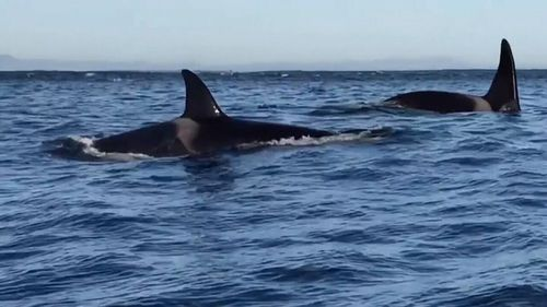 The orcas have cleared their fellow predators out of the area. Picture: 9NEWS