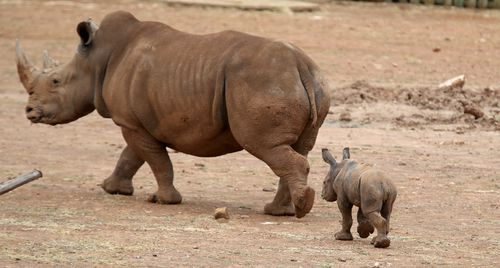 Monarto Zoo is about to adopt 40 more rhinos as part of a sanctuary program saving the animals from poaching in Africa.