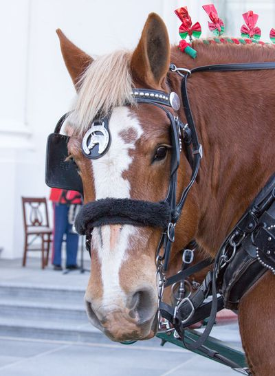 Belgian draught horses Karry and Ben delivered the tree to the presidential home. (AFP)