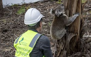 Four baby koalas and joey released into the bush after being rescued from bushfires