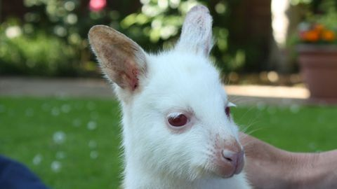 Jacob the orphan albino wallaby wears suncreen, sleeps in a backpack
