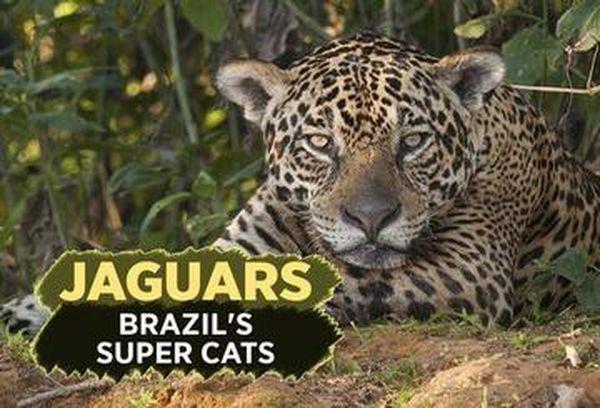 Attenborough: Jaguars: Brazil's Cats