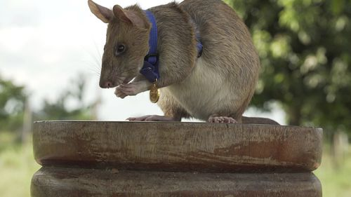 Giant rat wins top hero award for 'lifesaving bravery'