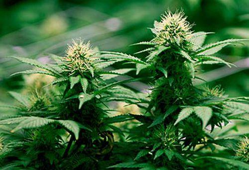 Cannabis plants (AAP)