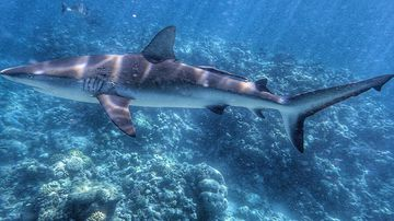 Shark migration study in Whitsundays in lieu of drum lines
