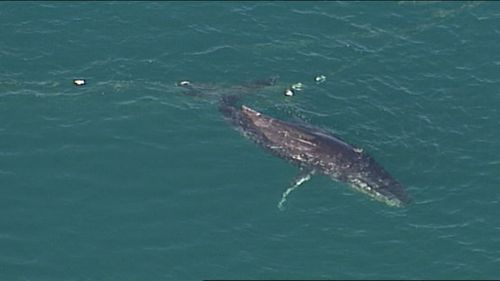 Whale freed after becoming trapped in shark nets off a Gold Coast beach. (9NEWS)
