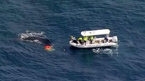 Environmental authorities have this morning been attempting to free a young humpback whale caught in netting just off the Gold Coast.