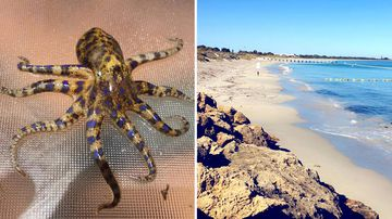 Blue Ringed Octopus Western Australia Coogee Beach