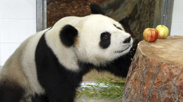 Fu Ni at Adelaide Zoo. (AAP)