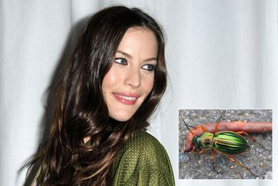 "Agra liv is a species of carabid beetle named after Liv Tyler, star of the movie <i>Armageddon</i>, because the ""existence of this species of elegant beetle is dependent upon the rainforest not undergoing an Armageddon""."