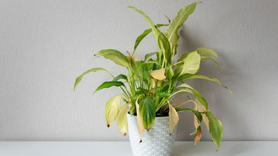 A house plant with wilting leaves