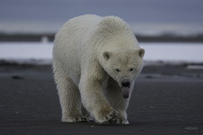 <strong>Nanuk, the Master Bear</strong>