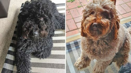 Labradoodle brothers Harvey and Bailey are also in need of a good clip.