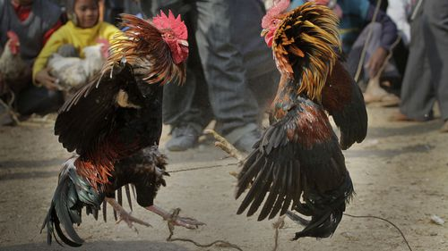 Rooster with knife tied to its leg kills man during banned cockfight in India