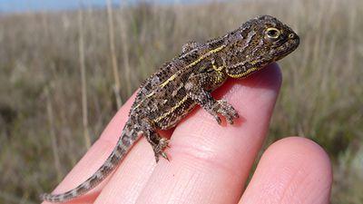 Canberra grassland earless dragon
