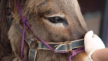 The donkey's halter had become embedded in its flesh and had to be surgically removed.