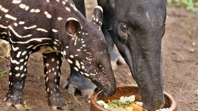 <p>A mother and baby tapir eat at a zoo in the German city of Leipzig. </p><p>In the wild, tapirs use their trunks to grab branches to strip leaves, or to pick fruit. </p><p>They are herbivores and they feed each morning and evening.</p>