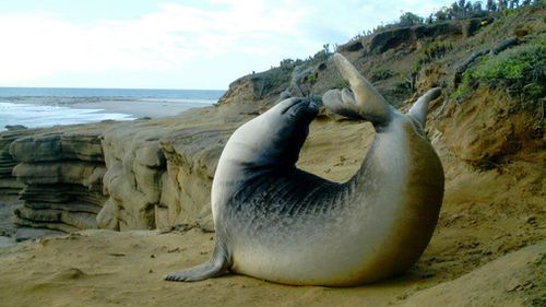 This 2011 photo from a US Fish and Wildlife Service motion-activated camera shows an elephant seal in the Channel Islands National Park off the coast of Southern California. (AAP)