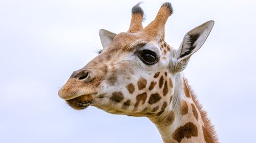Gigi the giraffe died just weeks after being transferred to Sydney Zoo.