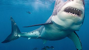 'Go for the gills': Expert's guide on how to survive a shark attack