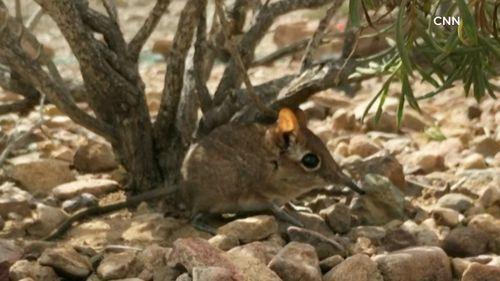 Somalia sengis/Elephant shrew