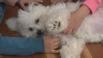 Monty the Maltese Terrier has made a full recovery.