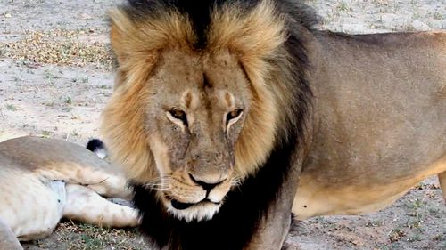 It's estimated that 1000 lions are killed by trophy hunters each year.