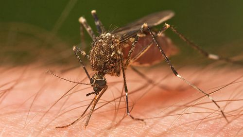 Malaria-carrying mosquitoes kill about 800,000 people