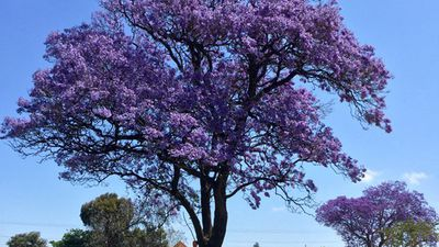 The Jacarandas are also blossoming in Perth, one Twitter user sharing this stunning picture of one in full bloom. (Twitter: @Idris_Evans)