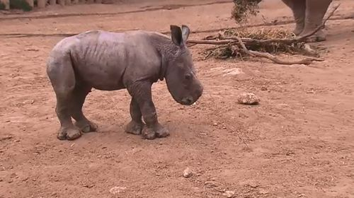 Juvenile white rhino dies from injury at South Australian zoo