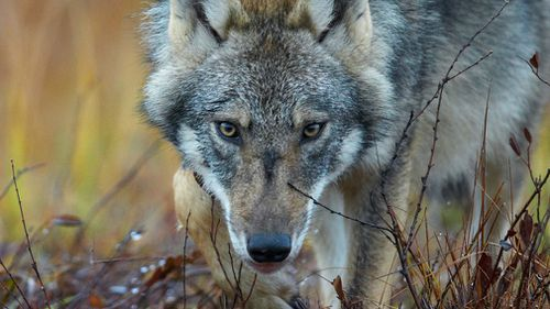 British hiker attacked and devoured by wolves while visiting Greece