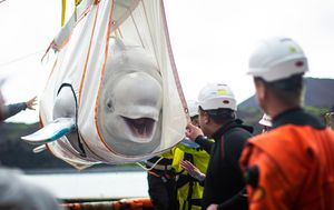 Trucks, tugboats and cranes used in epic rehoming of beluga whales to Iceland sanctuary