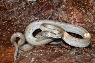 Scientists discover a new species of silver boa constrictor
