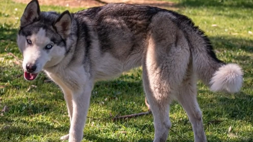 A case of animal cruelty involving two starved young Siberian huskies has been finalised in a South Australian court.