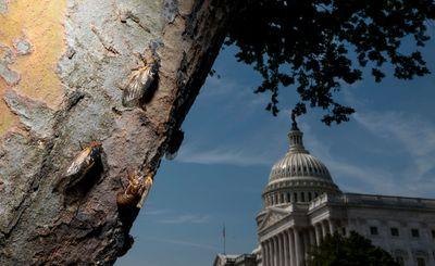 Cicadas emerge after 17 years