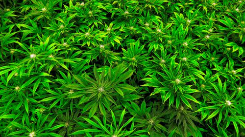 Terminally ill Australians to get faster access to medicinal cannabis