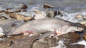 An investigation has been launched after a dead great white shark was found.