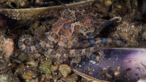 A Southern Blue-ringed Octopus in Gulf St Vincent, South Australia. (Julian Finn, Museums Victoria)