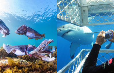 Giant cuttlefish experience / great white shark cage diving experience in South Australia