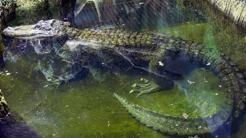 In this photo taken on Tuesday, Feb.  19, 2019, the alligator Saturn swims in water at the Moscow Zoo, in Moscow, Russia.