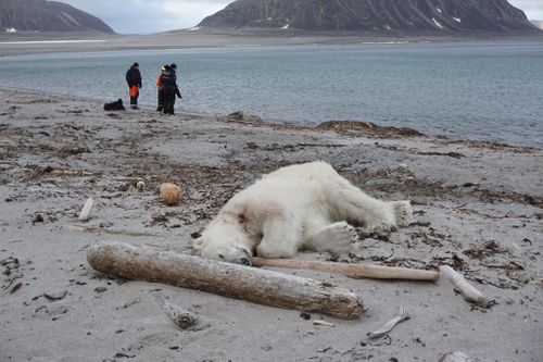 The polar bear which was shot by a cruise ship guard after it attacked a fellow employee in Spitsbergen, Norway. Picture: Supplied