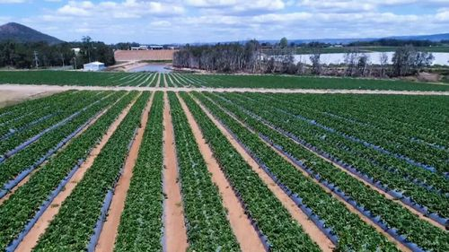 The $160m strawberry industry is reeling following the sabotage.