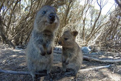 <strong>Take a selfie with a quokka </strong>