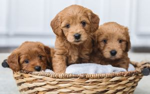 Police reveal how scammers are using puppies as they issue warning ahead of Black Friday